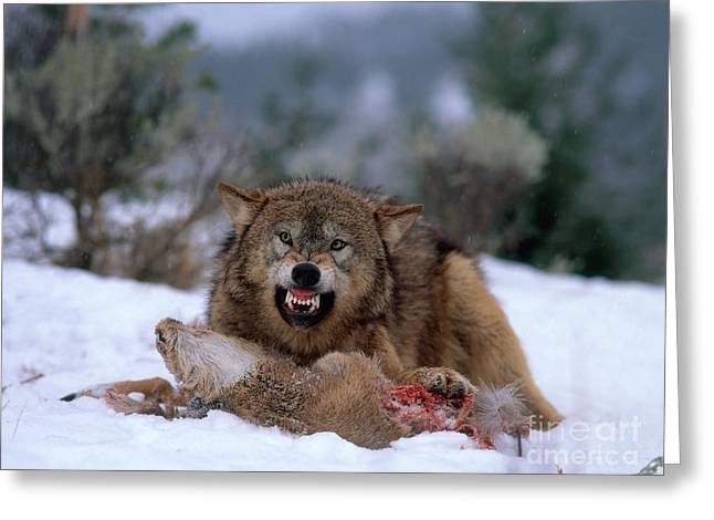 Growling Photographs Greeting Cards - Timber Wolf Greeting Card by Hans Reinhard