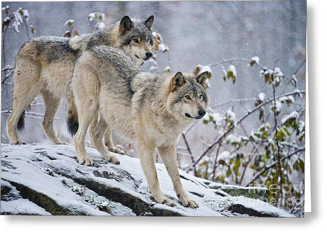 Michael Cummings Greeting Cards - Timber Wolves Greeting Card by Michael Cummings