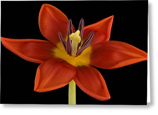 Beauty Mark Greeting Cards - Tulip Greeting Card by Mark Johnson
