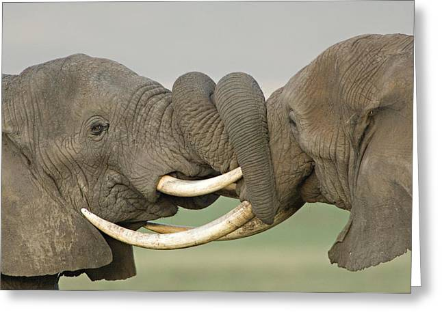 Animal Faces Greeting Cards - Two African Elephants Fighting Greeting Card by Panoramic Images
