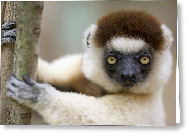 Verreauxs Sifaka In Berenty Greeting Card by Cyril Ruoso