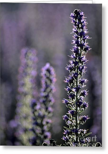 Back Lighting Greeting Cards - Vipers Bugloss Echium Vulgare Greeting Card by Adrian Bicker