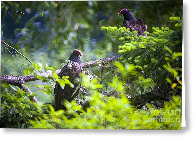 Zoology Greeting Cards - Vulture Greeting Card by Graham Foulkes