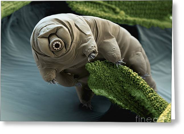 Invertebrates Greeting Cards - Water Bear Greeting Card by Eye of Science