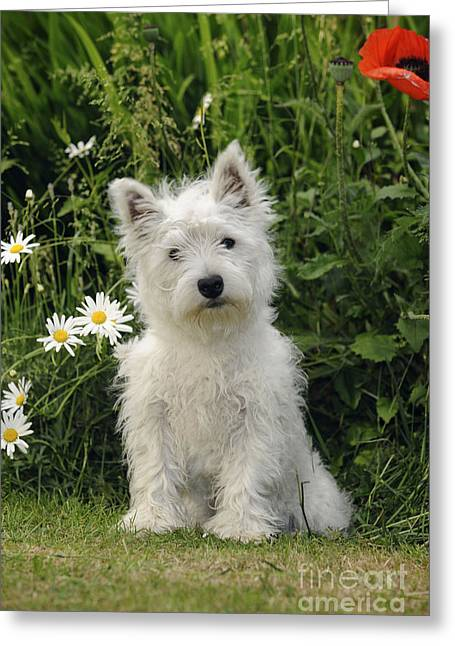 Westie Puppies Greeting Cards - West Highland White Terrier Puppy Greeting Card by John Daniels