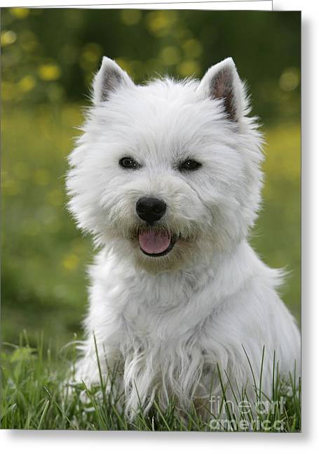 Talking Dog Greeting Cards - West Highland White Terrier Greeting Card by Rolf Kopfle