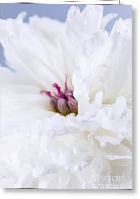 Close Up Floral Greeting Cards - White peony flower Greeting Card by Elena Elisseeva