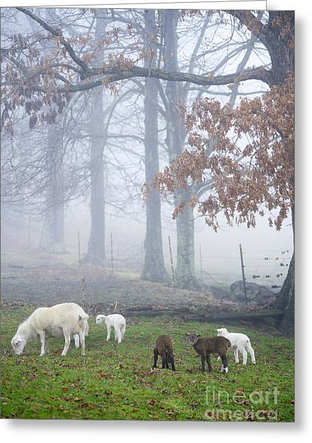 Appalachian Farm Greeting Cards - Winter Lambs Foggy Day Greeting Card by Thomas R Fletcher