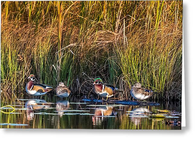 4 Wood Ducks Greeting Card by Paul Freidlund