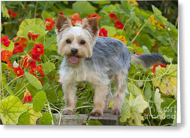 Toy Dog Greeting Cards - Yorkshire Terrier Dog Greeting Card by John Daniels
