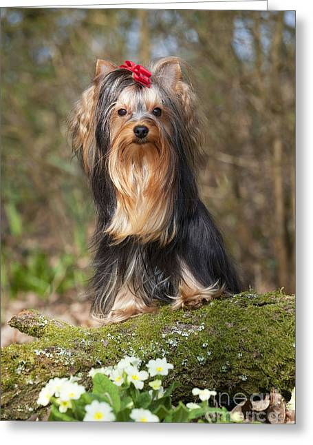 Toy Dog Greeting Cards - Yorkshire Terrier Greeting Card by John Daniels