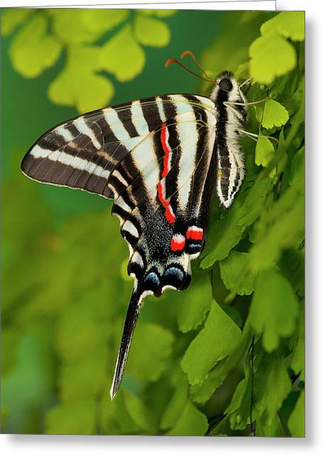 Zebra Swallowtail Butterfly, Eurytides Greeting Card by Darrell Gulin