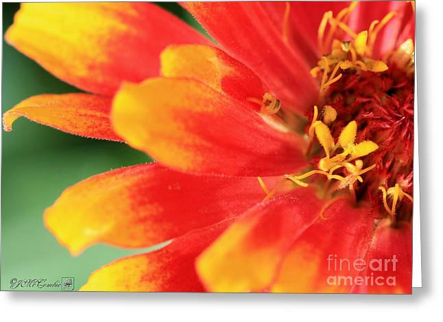 Whirlygig Greeting Cards - Zinnia from the Whirligig Mix Greeting Card by J McCombie