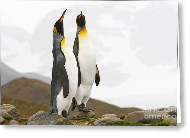Aptenodytes Patagonicus Greeting Cards - King Penguins Greeting Card by John Shaw