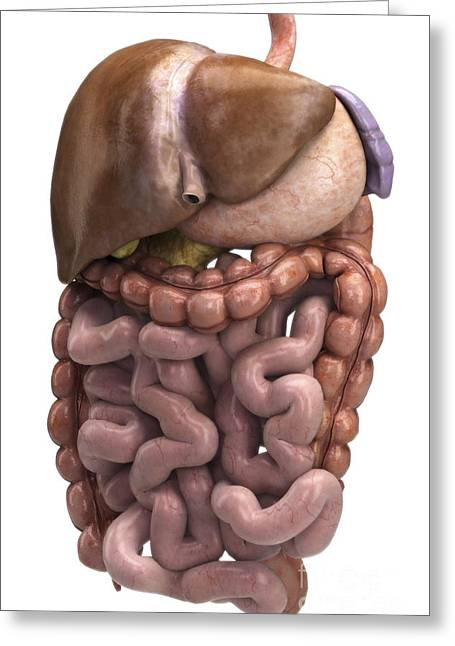 Abdominal Greeting Cards - The Digestive System Greeting Card by Science Picture Co