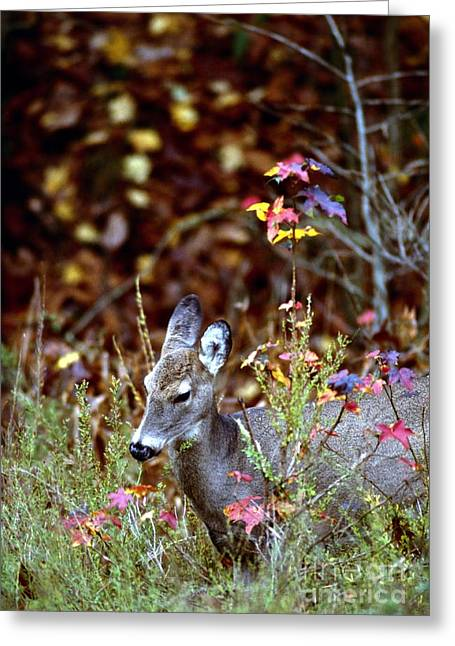 Indiana Autumn Greeting Cards - White-tailed Deer Greeting Card by Jack R Brock