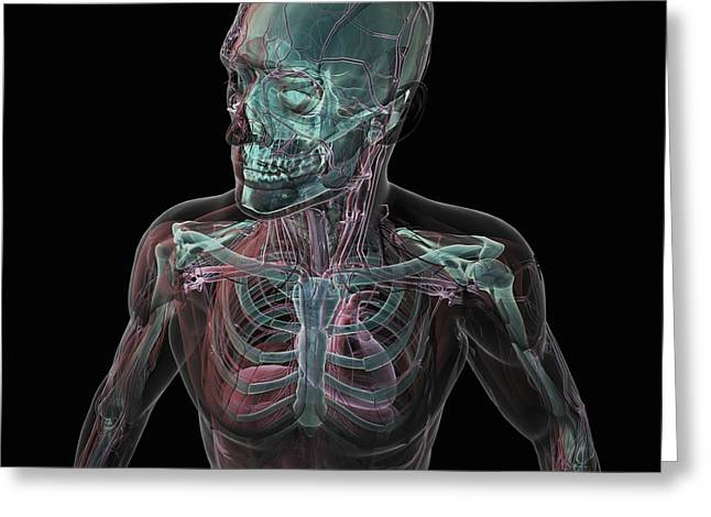 Rib Cage Greeting Cards - Human Anatomy Greeting Card by Science Picture Co