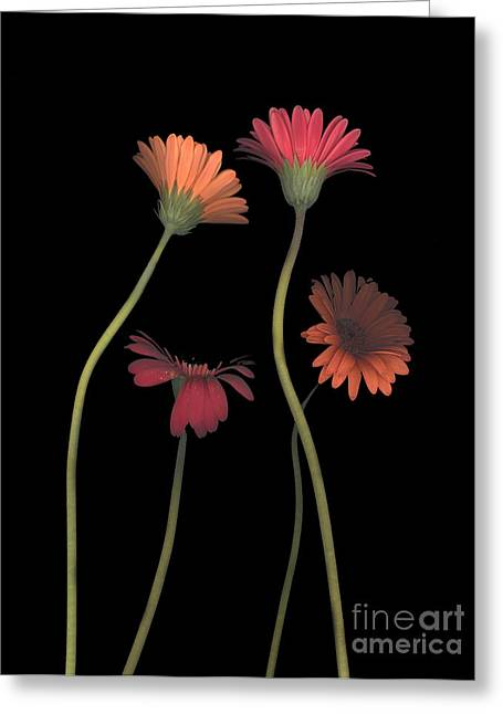 Heather Kirk Greeting Cards - 4Daisies on Stems Greeting Card by Heather Kirk