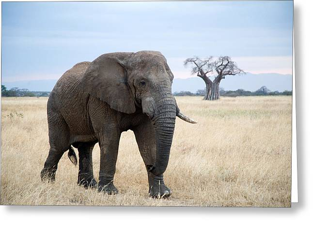 Bare Trees Greeting Cards - African Elephant Loxodonta Africana Greeting Card by Panoramic Images