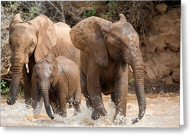 National Reserve Greeting Cards - African Elephants Loxodonta Africana Greeting Card by Panoramic Images