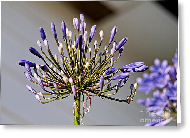My Ocean Greeting Cards - Agapanthus Greeting Card by   FLJohnson Photography