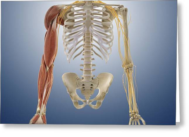 Arm Muscles, Artwork Greeting Card by Science Photo Library