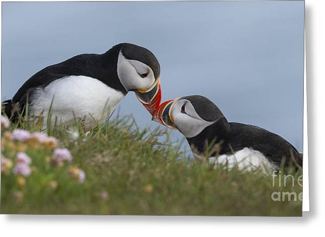Seabirds Greeting Cards - Atlantic Puffins Greeting Card by John Shaw