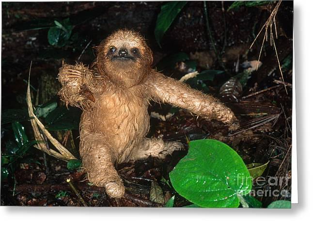 Sloth Greeting Cards - Baby Three-toed Sloth Greeting Card by Gregory G. Dimijian, M.D.