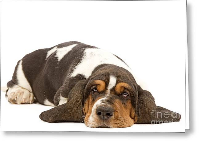 Basset Hound Greeting Card by Jean-Michel Labat