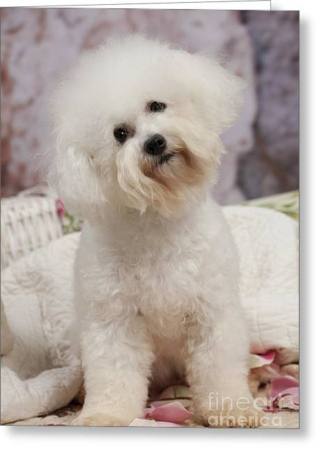Head Tilt Greeting Cards - Bichon Frise Greeting Card by Jean-Michel Labat