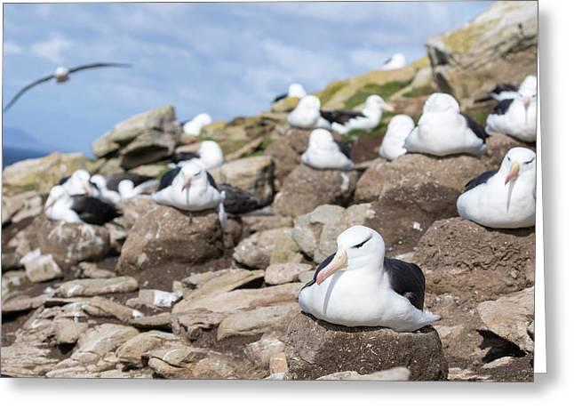 Black-browed Albatross (thalassarche Greeting Card by Martin Zwick