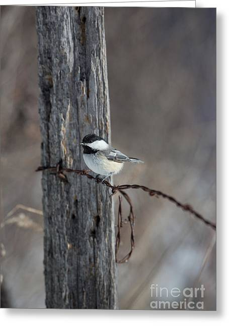 Passeriformes Greeting Cards - Black-capped Chickadee Poecile Greeting Card by Linda Freshwaters Arndt