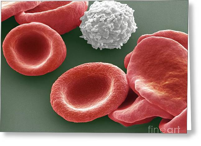 Biconcave Greeting Cards - Blood Cells Greeting Card by Steve Gschmeissner