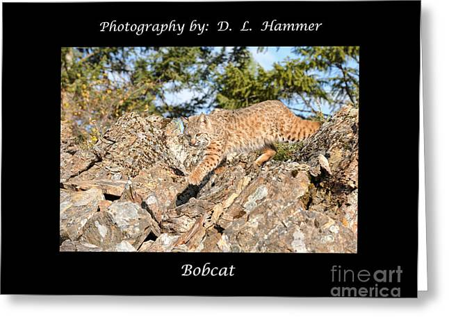 North American Bobcats Greeting Cards - Bobcat Greeting Card by Dennis Hammer
