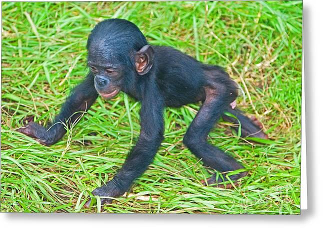 Jacksonville Greeting Cards - Bonobo Baby Greeting Card by Millard H. Sharp