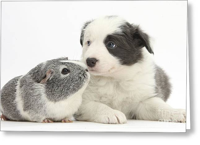 House Pet Greeting Cards - Border Collie Pup And Guinea Pig Greeting Card by Mark Taylor
