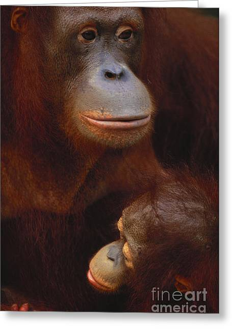 Love The Animal Greeting Cards - Bornean Orangutan Greeting Card by Art Wolfe