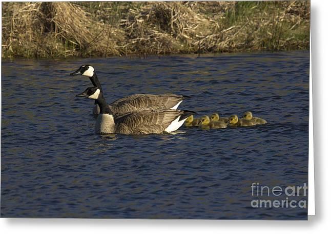 Geese Greeting Cards - Canadian Geese Greeting Card by Linda Freshwaters Arndt