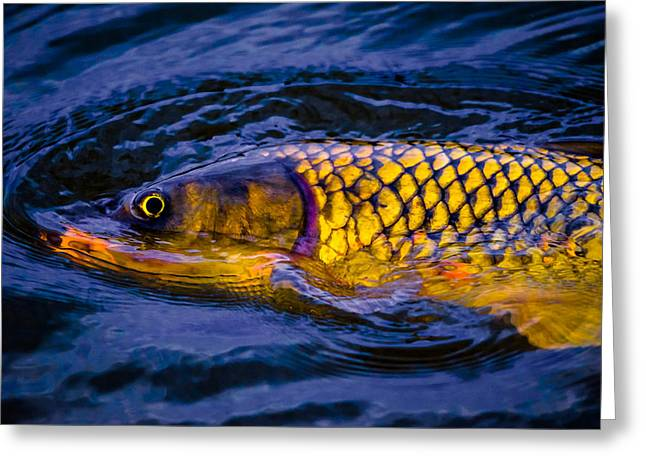 Catch And Release Greeting Cards - Carp Greeting Card by Brian Stevens