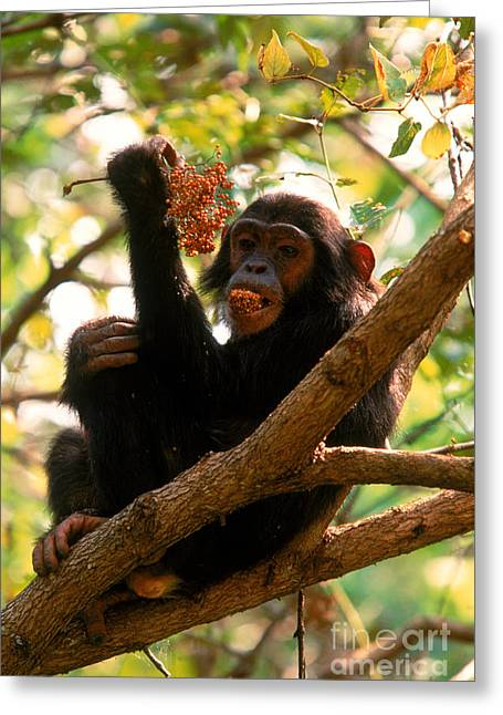 Chimpanzee Greeting Cards - Chimpanzee Greeting Card by Art Wolfe