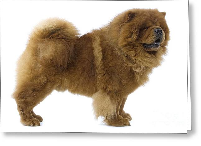 Chow Chow Greeting Card by Jean-Michel Labat