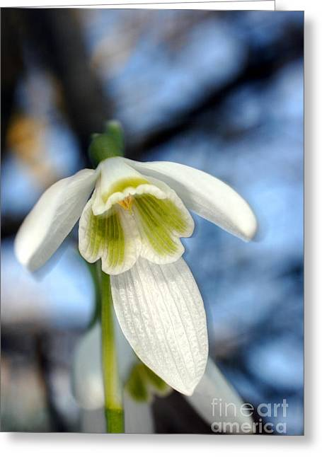 British Portraits Greeting Cards - Common Snowdrop Galanthus Nivalis Greeting Card by Dr. Keith Wheeler