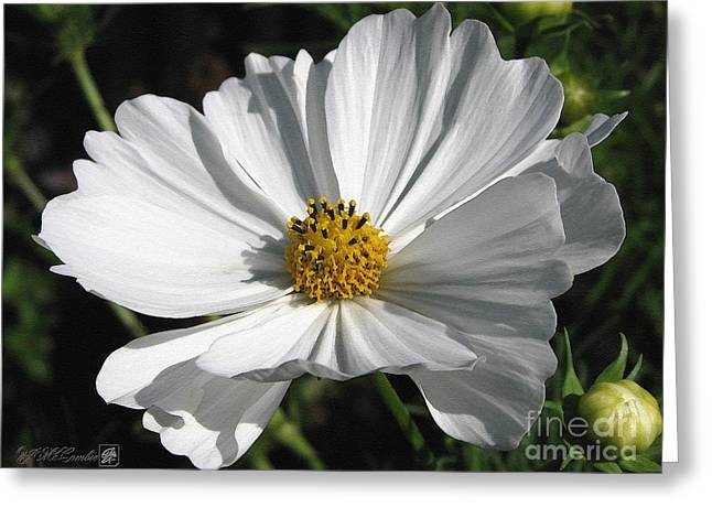 Blooms Greeting Cards - Cosmos named Sensation Alba Greeting Card by J McCombie