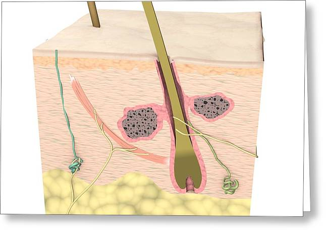 Sweat Pore Greeting Cards - Cross-section Of The Skin Greeting Card by Medical Images, Universal Images Group