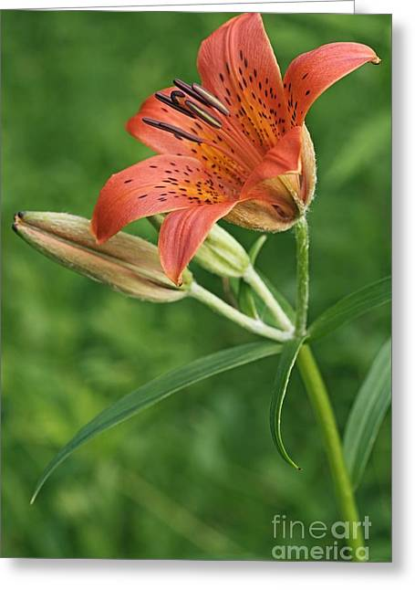 Lilium Greeting Cards - Daurian Lily Lilium Dauricum Greeting Card by Dr. Nick Kurzenko