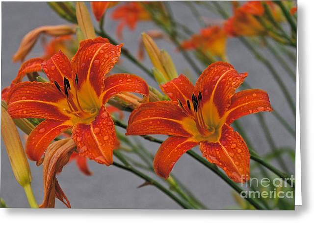 Day Lilly Greeting Card by William Norton