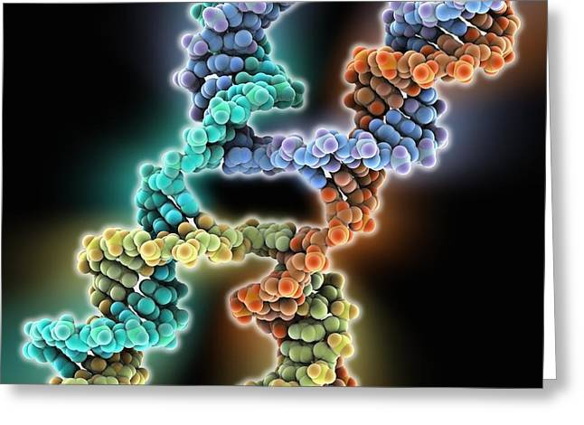 Crossing Over Greeting Cards - DNA Holliday junction, molecular model Greeting Card by Science Photo Library