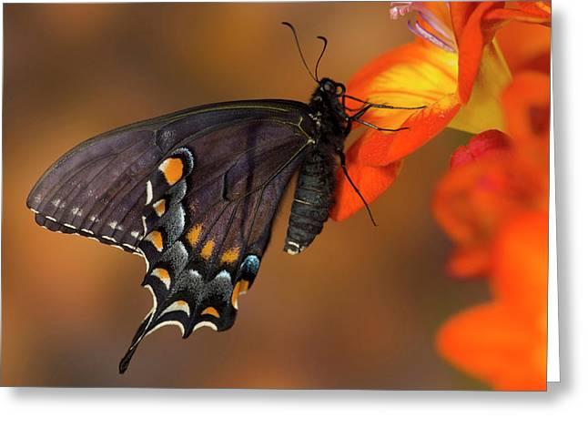 Eastern Tiger Swallowtail, Black Form Greeting Card by Darrell Gulin