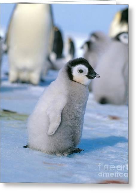Aptenodytes Forsteri Greeting Cards - Emperor Penguin Aptenodytes Forsteri Greeting Card by Hans Reinhard