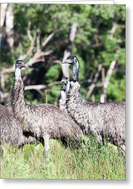 Emu (dromaius Novaehollandiae Greeting Card by Martin Zwick